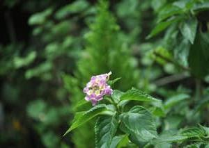 庭の花9月・・・ランタナ