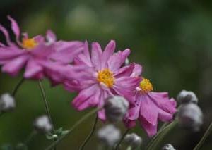 庭の花10月・・・シュウメイギク