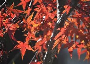我が家の紅葉は・・・
