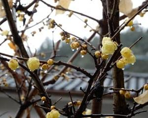 ロウバイの花・・・