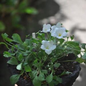 涼しげな白い花・・・ギンパイソウ