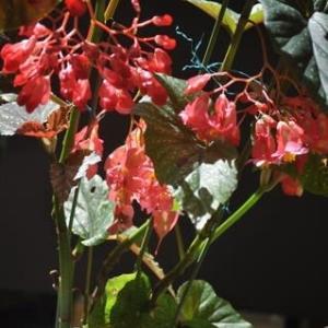 赤いシャンデリア・・・木立性ベゴニア