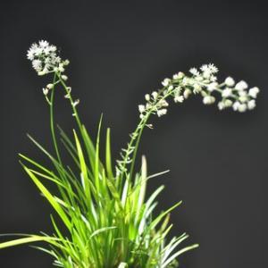 白い小花がかわいい・・・ハナセキショウ