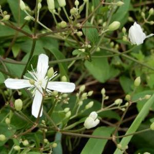 草むらに咲く白い花・・・センニンソウ