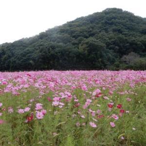 コスモス畑・・・姫路市はなのまちづくり