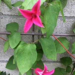バラを彩るコンパニオンプランツたち (2)