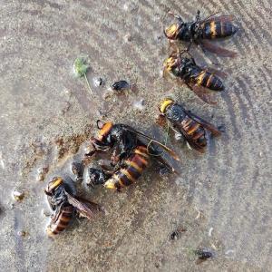 スズメ蜂トラップ