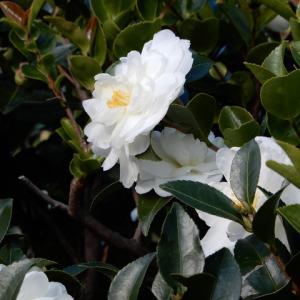 白い山茶花の花が咲く頃と原発事故