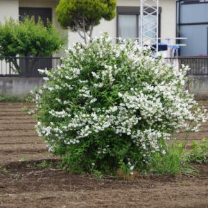 卯の花とつゆ草