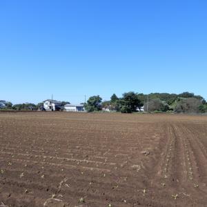 白菜の植え付け始まる(茨城南西部)