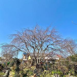 枝垂れ桜開花予想