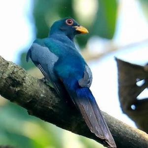 クビワオグロキヌバネドリ♂