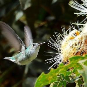 ユキハラエメラルドハチドリ