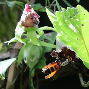 ヒメスズメバチ♀