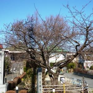 2020年慶林寺の河津桜(1)