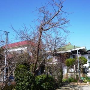 2020年慶林寺の河津桜(2)