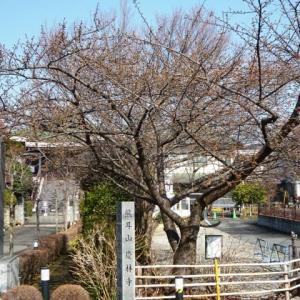 2019年慶林寺の河津桜(2)