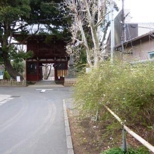 本土寺参道の辛夷(コブシ)
