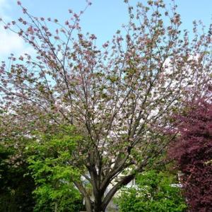 慶林寺の御衣黄桜