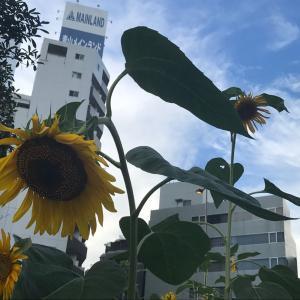 『五反田駅前をきれいにする会』の向日葵はまだまだ楽しめます!+藍のたたき染めマスクカバーが商品化