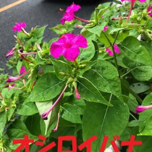 オシロイバナの花の色はいろいろありますねー+凹さん、刺繍を守りたいグッズ+そして次のたて糸はこれ
