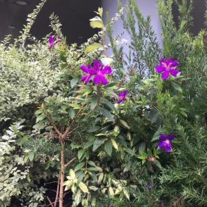 鮮やかな紫のシコンノボタン、いまでも細々咲いております。+50羽で繊細に変わり糸の平織りストール