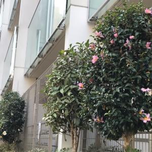 サルデーニャ式ルーピングの動画がアップされましたー!!+ご近所の植え込みシリーズ・椿の盛りは・・