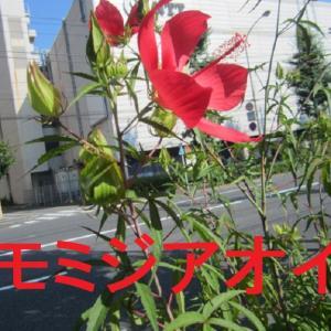 次々と咲くモミジアオイが夏らしい+きさらぎさん生徒さんのハック織りの麻糸バッグは表裏で柄が違う!