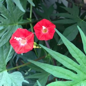 かわいらしい縷紅草(ルコウソウ)の植え込み+裂き織りよりもショールが希望ということでこんなたて糸