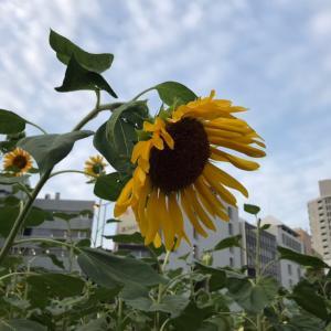五反田駅前のひまわりは今年も健在!!+千葉のHさんの教室課題は高機でウィービングカードとのコラボ