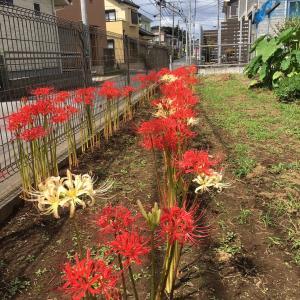 千葉のKさんお庭広、ヒガンバナの盛りはあっという間ですよねー!!+M子ちゃんは楽しみを増殖中!!