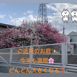 赤、ピンク、白、3色のお花の木、キレイ~「花桃」というみたい