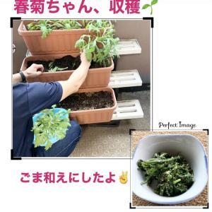 春菊ちゃん、収穫! ごま和えでいただきました~(⋈◍>◡<◍)。✧♡
