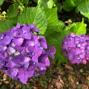 赤紫の紫陽花