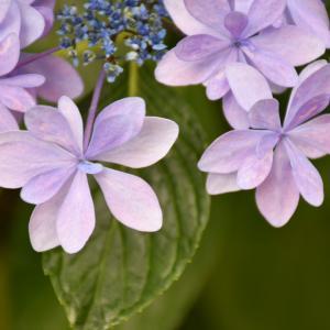 うちの紫陽花①