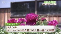 とやま花便り 挿し木で育つオオデマリ(チューリップテレビ 令和2年5月25日 18時20分)