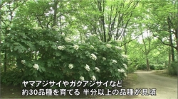 県中央植物園 アジサイが見ごろ(BBT 令和2年6月17日 11時30分)