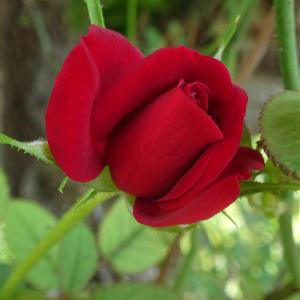 薔薇が咲いた、薔薇が咲いた……(^▽^;)