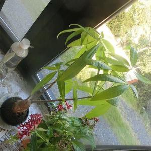 出窓の植物君とアイスコーヒー(ガラス吹きで造った手作りグラス)の朝
