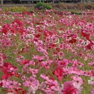 秋桜畑(2)