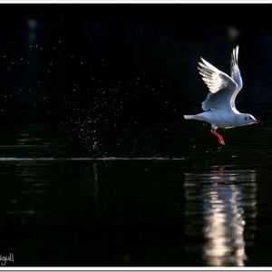 Photogenic Seagulls 286