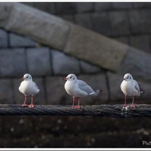 Photogenic Seagulls 291