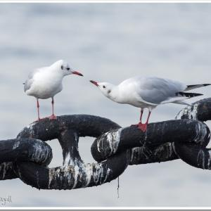 Photogenic Seagulls 293
