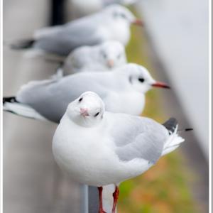 Photogenic Seagulls 302
