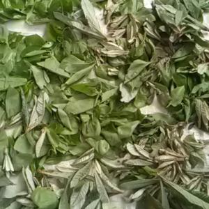 お茶の葉作り