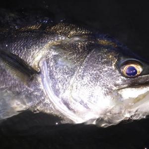 釣行 シーバス758[ 湾奥 ] 良型確保も微妙な感じ