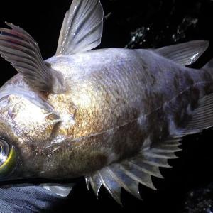 釣行 メバル208[ 三浦 ] 濁りで苦戦のサーフメバル