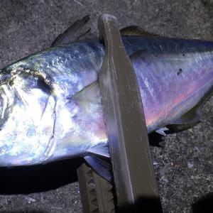 釣行 アジ 102 [ 京浜 ] 釣りおじさん、やっとアジングでアジを釣る