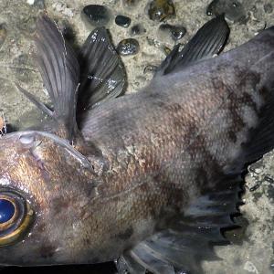 釣行 メバル229[ 内房 ] 1月メバル、釣れ方色々