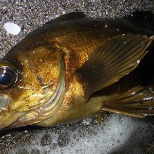 釣行 メバル235[ 三浦 ] 大潮上げでボチボチ